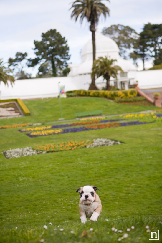 San Francisco Dog Photographer - English Bulldogs | Nuena Photography
