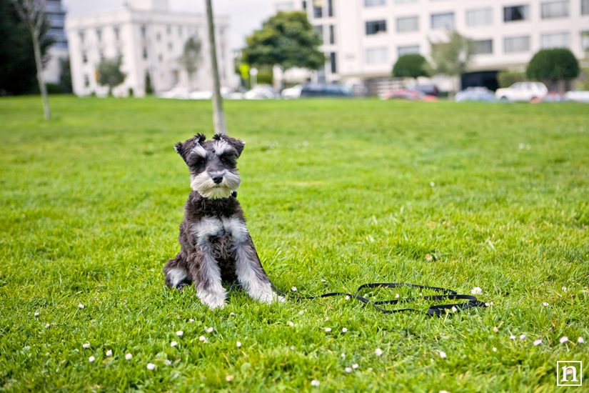 Annie the Mini Schnauzer | San Francisco Pet Photographer